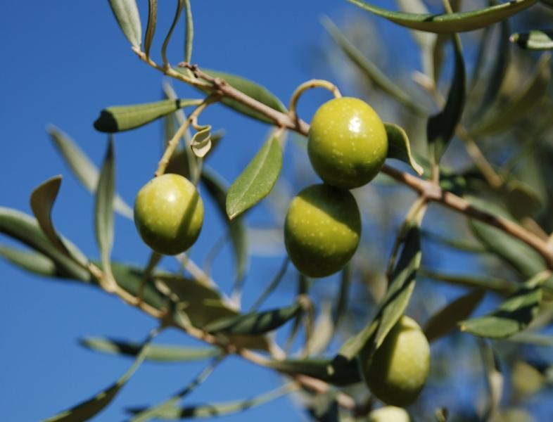 E 39 tempo di raccontare l 39 olio d 39 oliva viene l 39 inverno for Raccolta olive periodo