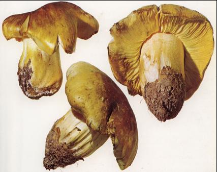 TRICHOLOMA EQUESTRE fungo considerato per lungo tempo commestibile, velenoso mortale, provoca per accumulo la rabdomiolisi, paralisi dei muscoli volontari